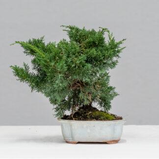 43_JuniperusChinensis