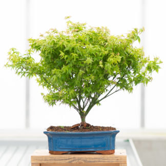 Acer palmatum littleprincess