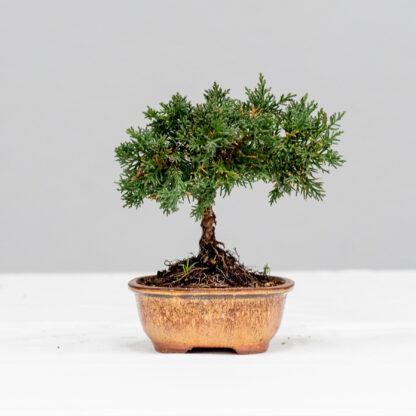 45_JuniperusChinensis