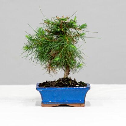 4_PinusHalapensis_1
