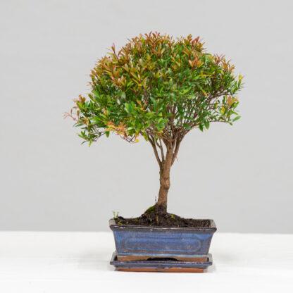 55_Syzygium_Buxifolium