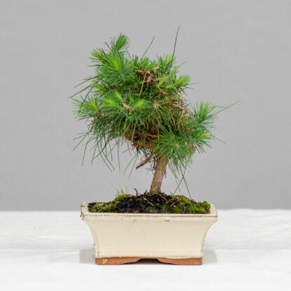 5_PinusHalapensis_2