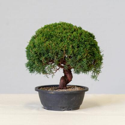 JuniperusItoigawa-yok_1