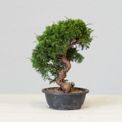 JuniperusItoigawa-yok_5