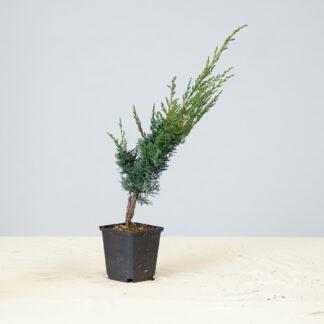 Juniperus_Blaauw