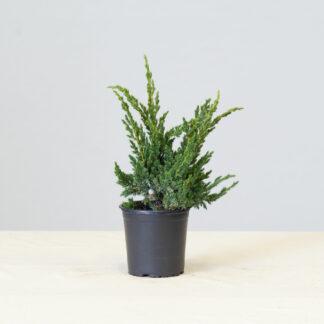 Juniperus_Bluecompact
