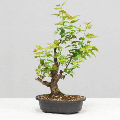 PrunusMume-yok2111a