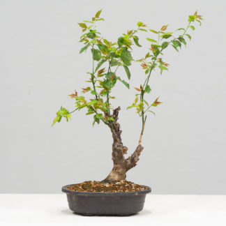 PrunusMume-yok2111c