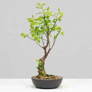PrunusMume-yok2111e