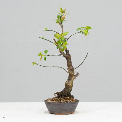 PrunusMume-yok2111f