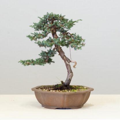 JuniperusBlueAlps2