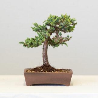 JuniperusBlueAlps3