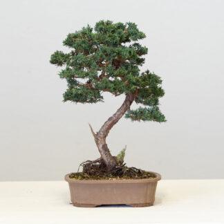 JuniperusChinBlaauw