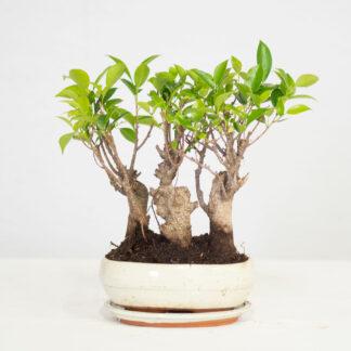 FicusSkog